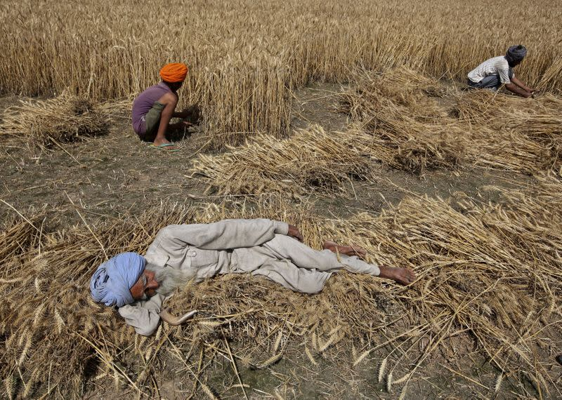 A farmer rests as his family members harvest a wheat crop in a field at Mannana village in Punjab