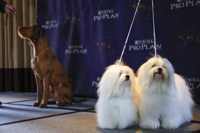 New breed entries in the 139th Annual Westminster Kennel Club Dog Show Chanel and Burberry, Cotons de Tulear breeds, stand while Falko, a Wirehaired Vizla, stands with its owner during a press conference in New York January 21, 2015.REUTERS/Shannon Stapleton (UNITED STATES - Tags: ANIMALS SOCIETY)