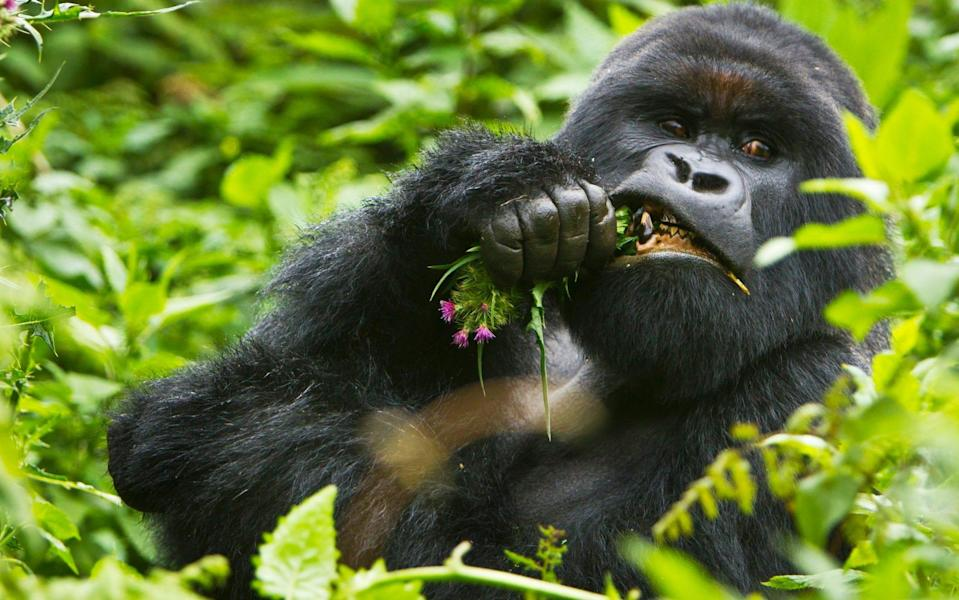 The country is known for its mountain gorillas - Getty