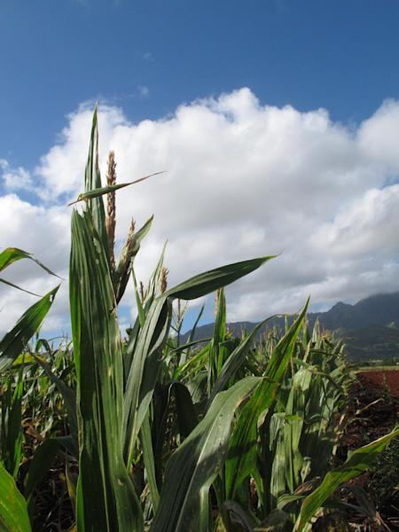 In this April 16, 2014 photo, the Waianae mountains serve as a backdrop to a field of corn on Pioneer Hi-Bred International land in Waialua, Hawaii. The nation's leading corn seed companies have farms in Hawaii, but their fields have become a flash point in a spreading debate over genetic engineering in agriculture. (AP Photo/Audrey McAvoy)