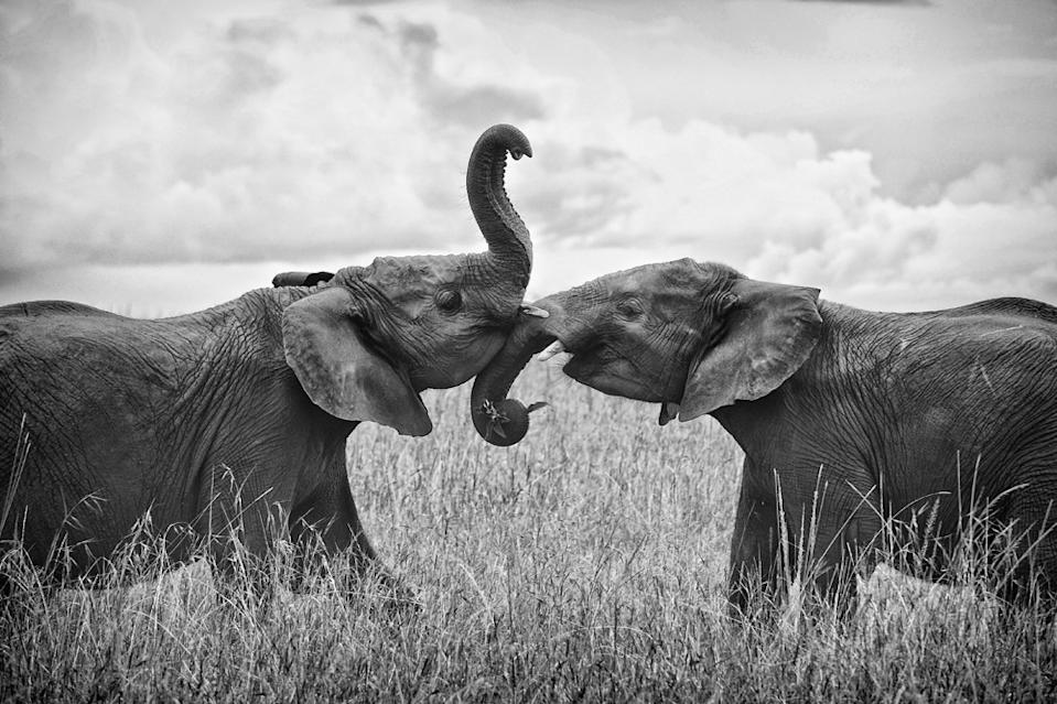 "Two young male elephants greet each other with a brief moment of mock sparring in Kenya near the Masai Mara. They were from the same herd, obviously familiar with one another, and not mature enough to have been forced from the group. Teenagers. (Photo and caption Courtesy Edward Hilsmeyer / National Geographic Your Shot) <br> <br> <a href=""http://ngm.nationalgeographic.com/your-shot/weekly-wrapper"" rel=""nofollow noopener"" target=""_blank"" data-ylk=""slk:Click here"" class=""link rapid-noclick-resp"">Click here</a> for more photos from National Geographic Your Shot."