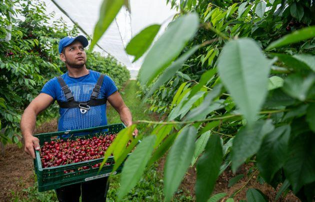 24 June 2021, Saxony-Anhalt, Aseleben: A harvester carries a staircase of sweet cherries in a plantation at Obsthof Am Süßen See. Sweet cherries ripen on 318 hectares in the cultivation area of the Sächsisches Obst e.V. regional association in Saxony and Saxony-Anhalt. For this year the fruit growers of the association forecast a harvest of about 1900 tons and remain below average with their expectation. Photo: Hendrik Schmidt/dpa-Zentralbild/dpa (Photo by Hendrik Schmidt/picture alliance via Getty Images) (Photo: picture alliance via Getty Images)