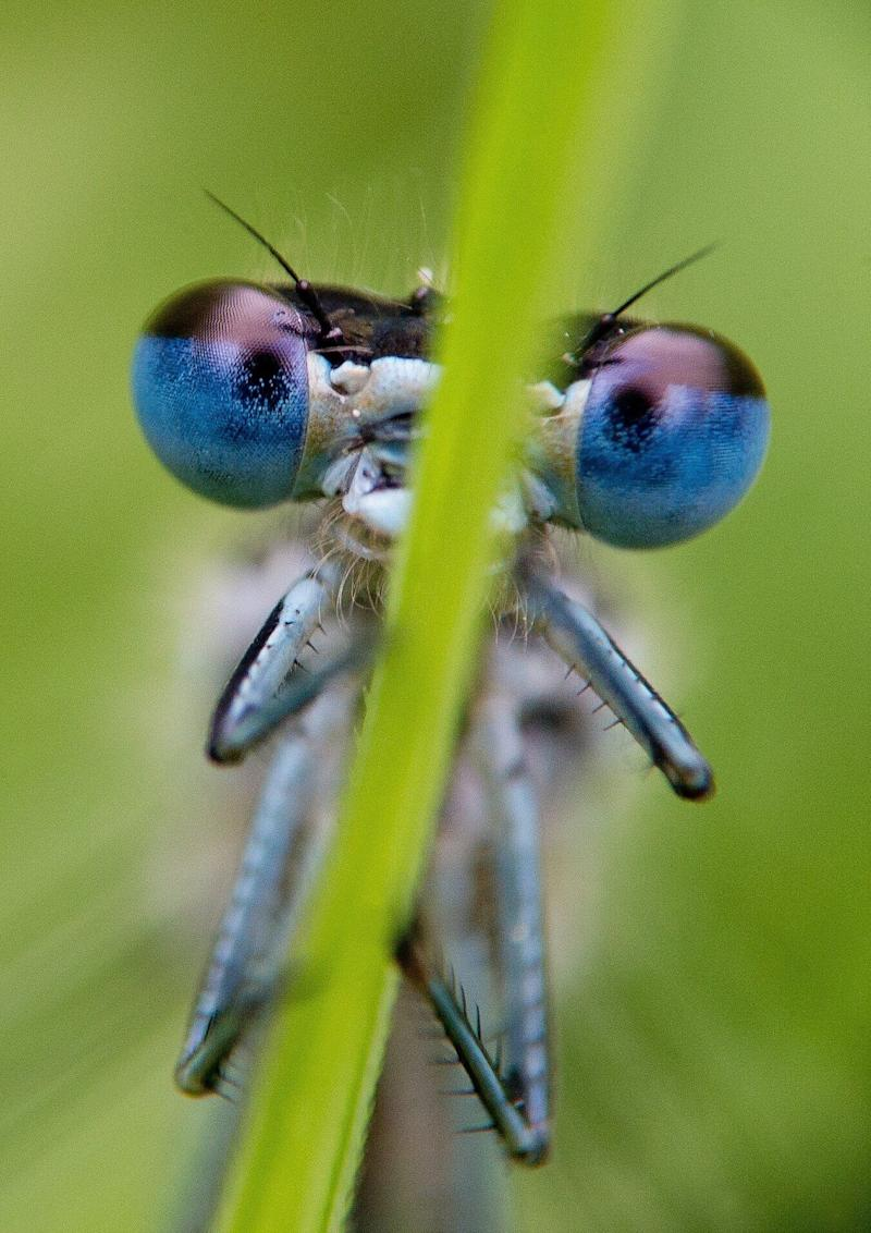A blue damselfly (<em>Platycnemis pennipes</em>) rests on a reed at the edge of a small lake near Briesen, Germany, on May 13, 2012. Dragonflies are evidently amongst the oldest flying insects with around 5000 known species worldwide. Only 80 dragonfly species can be found in Germany. (PATRICK PLEUL/AFP/GettyImages)