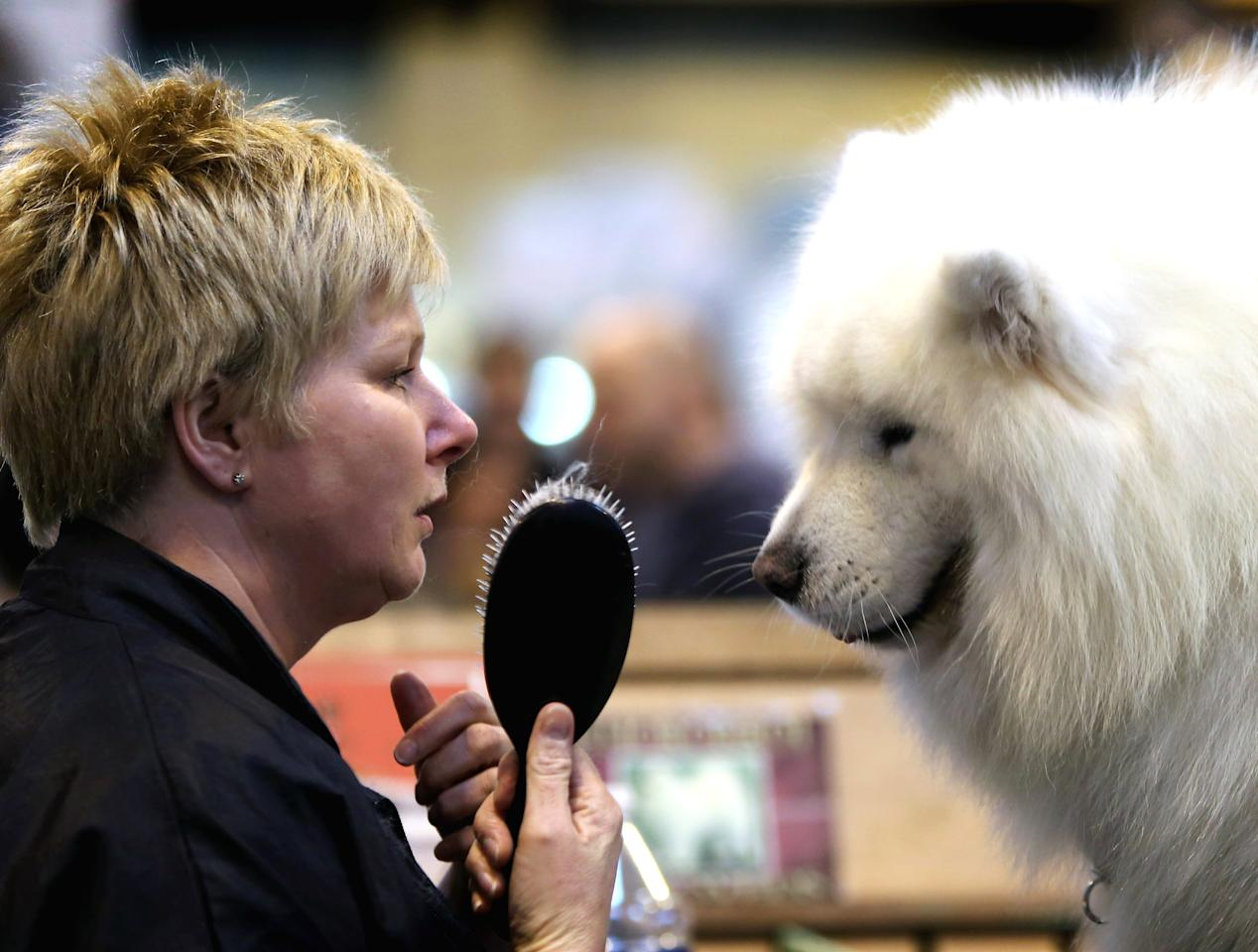 BIRMINGHAM, ENGLAND - MARCH 10:  Tracey Elder from Fyfe grooms her Samoyed Bolan during the final day at Crufts Dog Show on March 10, 2013 in Birmingham, England. During this year's four-day competition over 22,000 dogs and their owners will vie for a variety of accolades but ultimately seeking the coveted 'Best In Show'.  (Photo by Rosie Hallam/Getty Images)