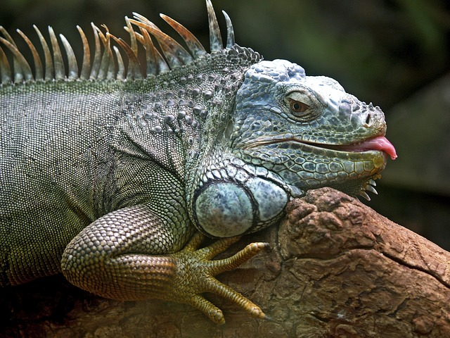 Why Drunk-Looking Iguanas Are Falling from Trees in Florida