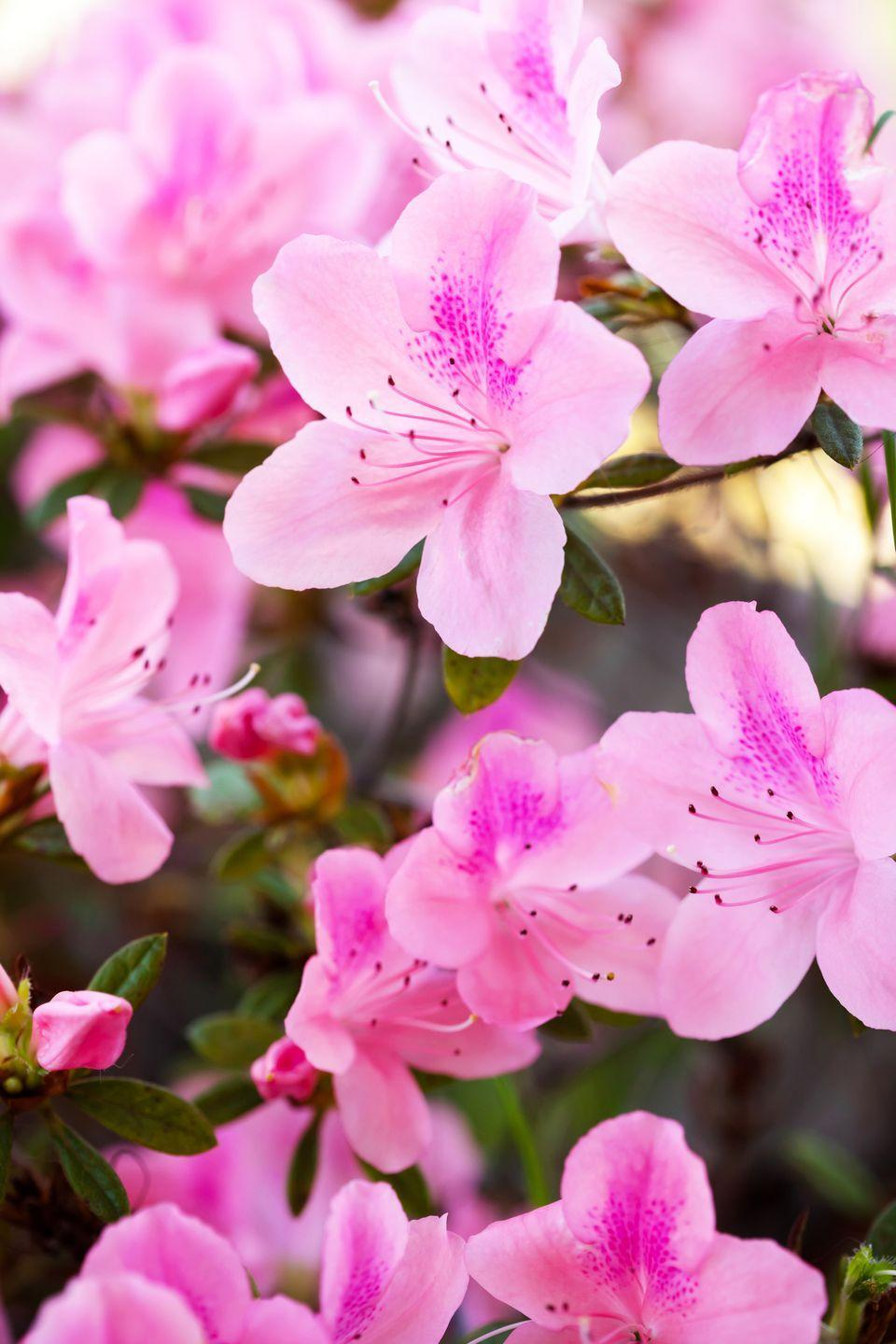 "<p>Most azaleas have lovely blooms that appear in mid-spring. New re-blooming varieties stay around 3 feet tall and bloom again and again throughout the season! Look for types such as Bloomerang and Perfecto Mundo. They typically do best with afternoon shade. </p><p><a class=""link rapid-noclick-resp"" href=""https://www.greatgardenplants.com/products/perfecto-mundo-double-pink-reblooming-azalea?variant=37358171652263"" rel=""nofollow noopener"" target=""_blank"" data-ylk=""slk:SHOP NOW"">SHOP NOW</a></p>"