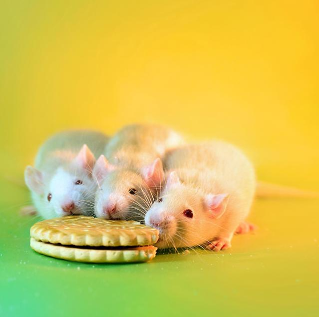 <p>Once they have explored the area, Diane gives them treats and cuddles, so that the rats slow down a little, allowing her to then photograph the rodents. (Diane Ozdamar/Caters News) </p>
