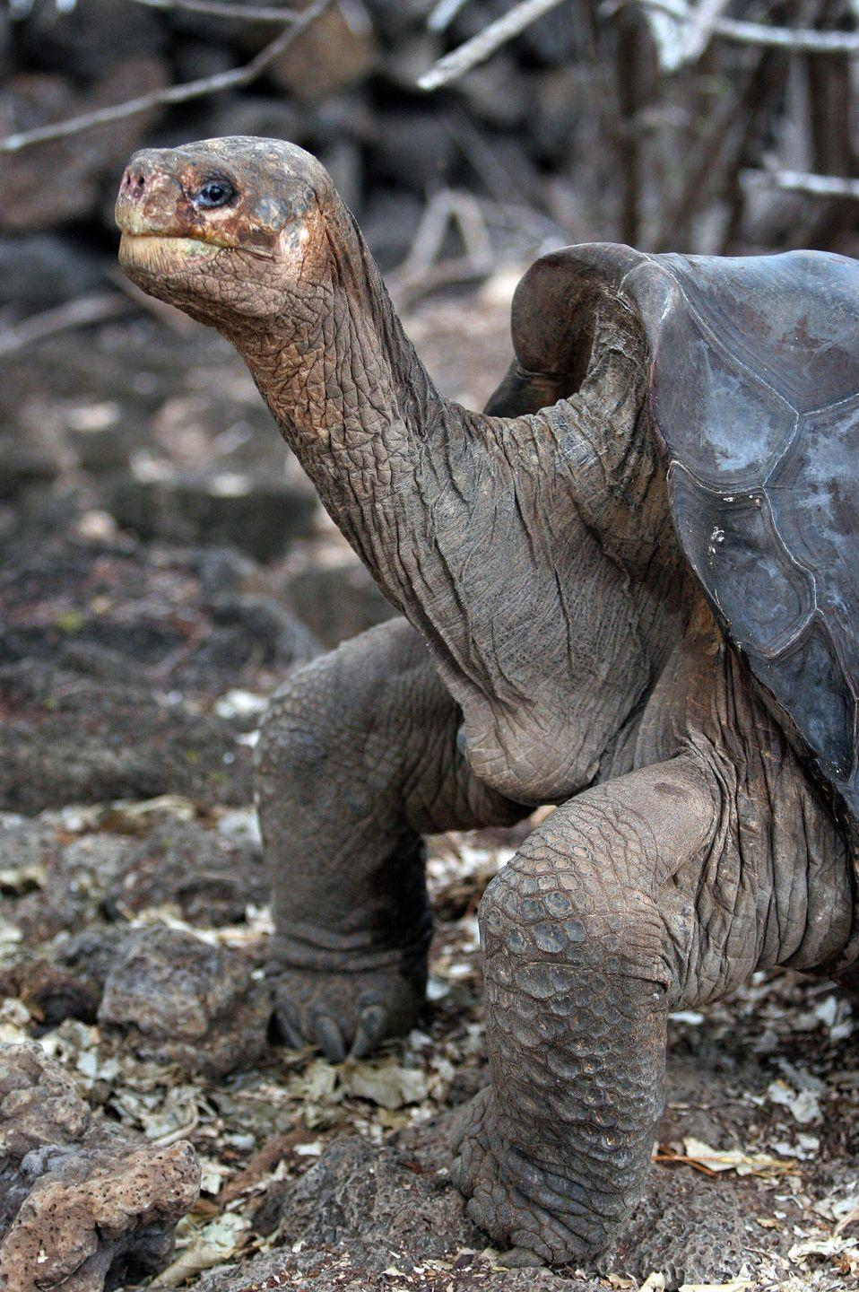 <p>The Pinta Island tortoise was around when Darwin visited the Galapagos in 1835. Sadly, a male named Lonesome George (pictured), was the last purebred of this subspecies and passed in 2015.</p><p><strong>Cause of Extinction:</strong> goats that humans introduced to Pinta Island who destroyed their habitats, rats (also introduced by humans) who preyed on young tortoises, and humans killing the tortoises for their meat.</p>
