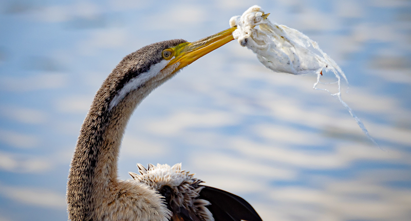 An Australasian darter with fabric wrapped around its beak. The lake in the background.