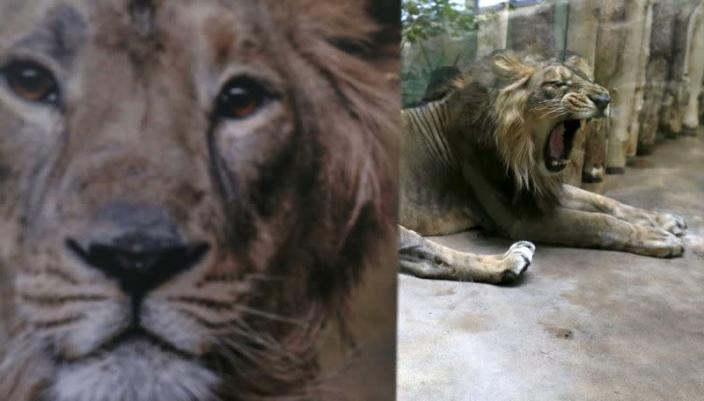 FILE PHOTO: Jamvan, an Asiatic lion, yawns inside its enclosure at Prague Zoo