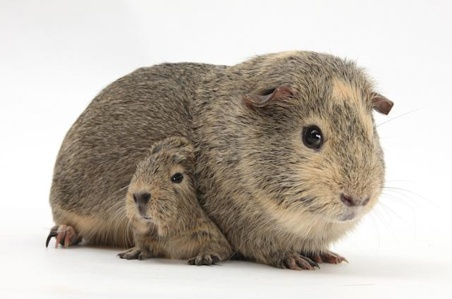 <p>Yellow-agouti adult and baby guinea pigs. (Warren Photographic/Mercury Press) </p>