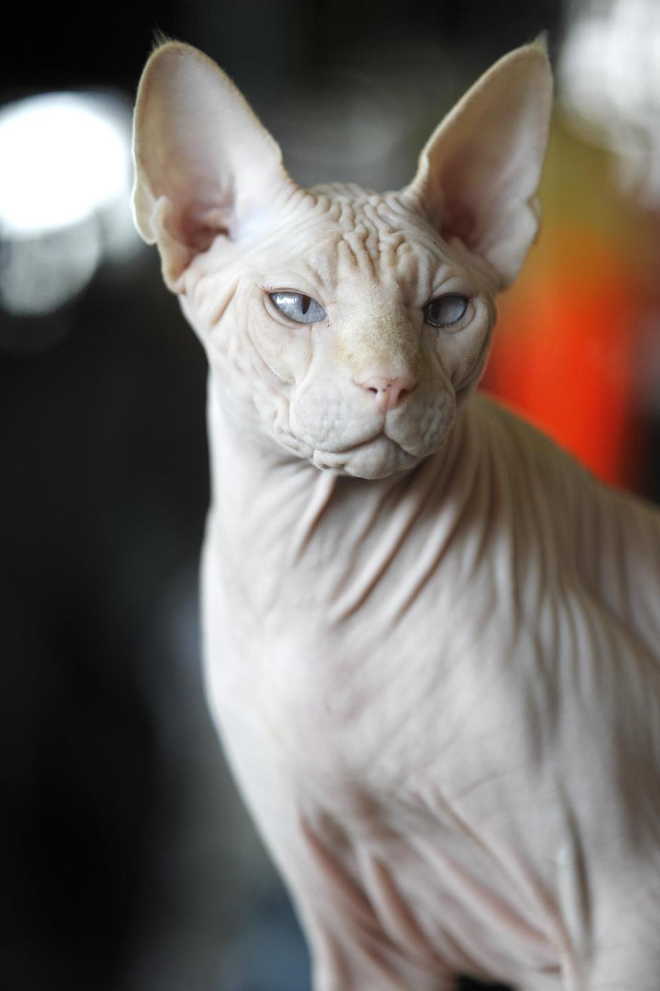 In this March 15, 2012 photo, a four-year-old hairless cream point Sphynx, Moshe Moshi, belonging to Carol Meir of Takoma Park, Md., sits at The Big Bad Woof, a pet supplies store, in Washington. Meir is managing her cat's allergies with a venison and pork diet and daily medication. She figures it cost her about $750 for vets and tests. Medicine is $250 a year. (AP Photo/Charles Dharapak)