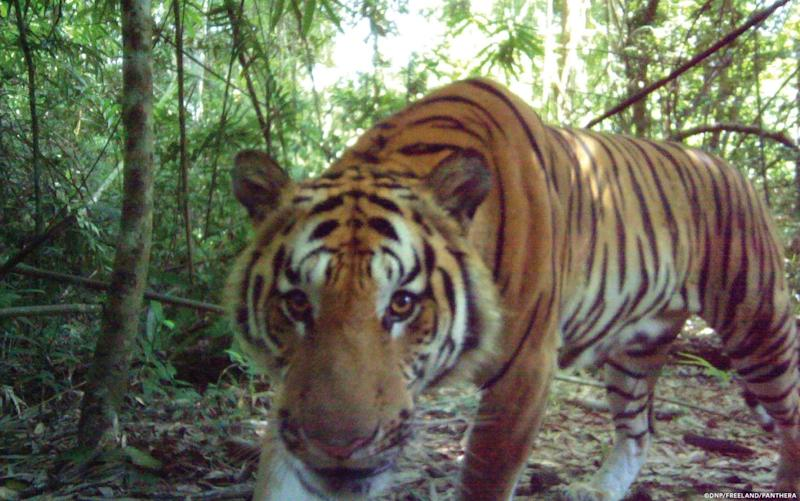 Investigators have photographic evidence of new tiger cubs in eastern Thailand's jungle, signalling the existence of the world's second breeding population of endangered Indochinese tigers - Thailand's Department of National Parks, Wildlife and Plant Conservation/Freeland