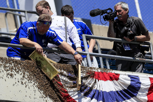 <p>Grounds crew member Jeff Diekman removes bees from bunting along the left field line, as Kansas City Star staff photographer John Sleezer records video, before a baseball game between the Kansas City Royals and the Cleveland Indians at Kauffman Stadium in Kansas City, Mo., May 7, 2017. (Brian Davidson/Getty Images) </p>