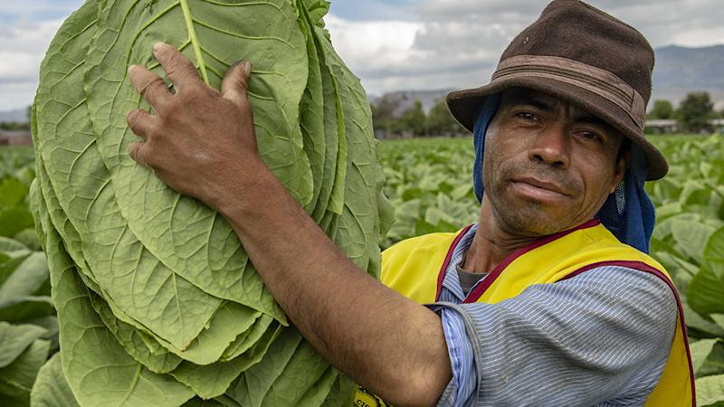 A worker harvesting the tobacco at Cigar Padron factory Nicaragua