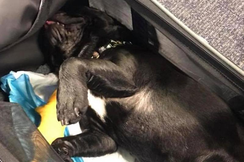 A fellow passenger shared this image of the dead dog after it was forced into an overhead bin by United Airlines cabin crew