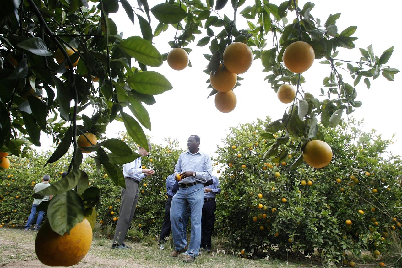 File - In this Jan. 24, 2012 file photo, Mamoudou Setamou, center, a citrus entomologist for the Texas A&M University Kingsville Citrus Center in Weslaco, walks through the grove where citrus greening disease has been found in San Juan, Texas. The California Department of Food and Agriculture announced Friday that citrus greening, also known as huanglongbing, has been discovered in lemon/pummelo tree in a residential neighborhood of Los Angeles County. The bacterial disease is carried by the Asian citrus psyllid and attacks the vascular system of trees. (AP Photo/The Monitor, Nathan Lambrecht, File)