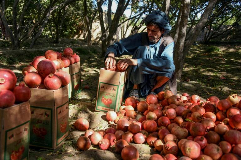 Pomegranates are a point of pride for Afghan farmers (AFP Photo/JAVED TANVEER)