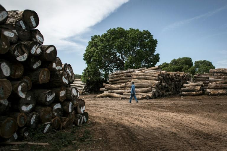 Tropical forests cover more than half of Mozambique's land mass but China's insatiable appetite for rare woods to feed its furniture industry means the country is being stripped of its slow-growing tropical forests