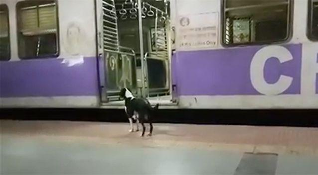 The female dog arrives at the station each night at 11pm and waits on platform 1. Source: Newsflare