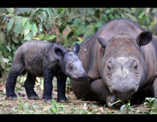 A female Sumatran rhino named Ratu, right, is seen with her newborn calf at Way Kambas National Park in Lampung, Indonesia, June 25, 2012. Ratu, a highly endangered Sumatran rhinoceros, gave birth to the calf Saturday in western Indonesia, a forestry official said. It is only the fifth known birth in captivity for the species in 123 years