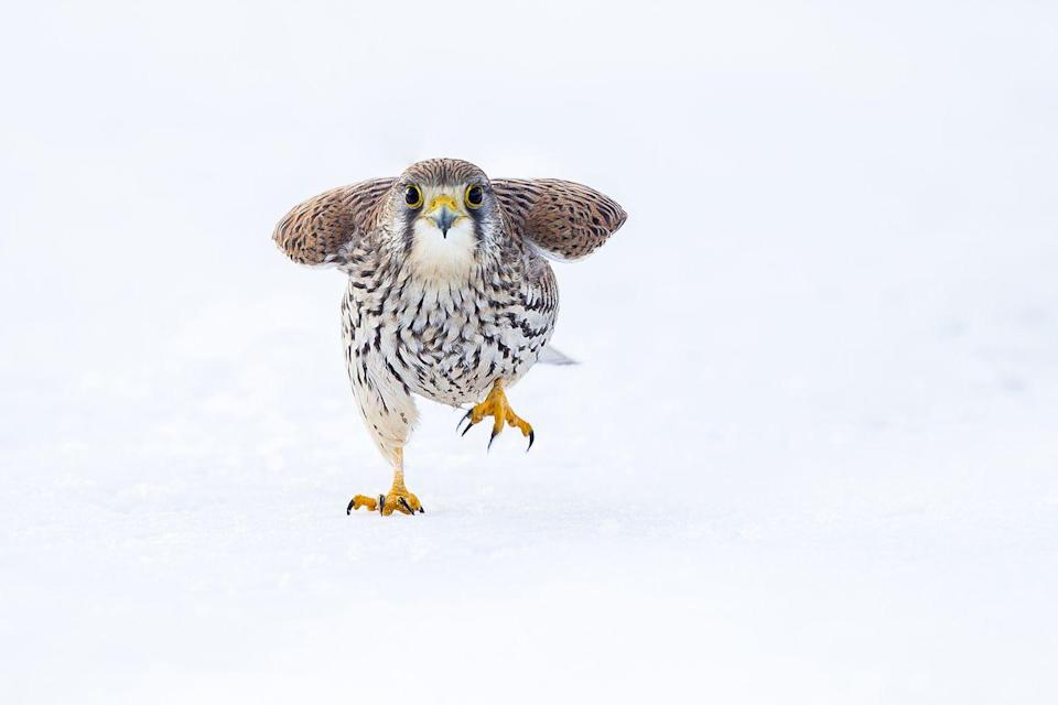 <p>A marching wild common kestrel in the snow on cold winter's day.</p>