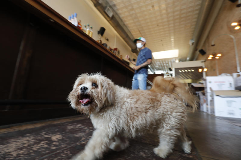 """Havanese dog Brooklyn walks around the Shoals Sound & Service vegan restaurant as his owner Omar Yeefoon works is in the establishment Tuesday, June 30, 2020, in Dallas. Yeefoon reopened his Dallas restaurant June 10 to """"a pretty good reception,"""" after having been shuttered for three months. The comeback was fleeting. After four days, Yeefoon had to shut down again in the face of a COVID-19 resurgence in Texas and lay off two of the four workers he'd brought back. (AP Photo/LM Otero)"""