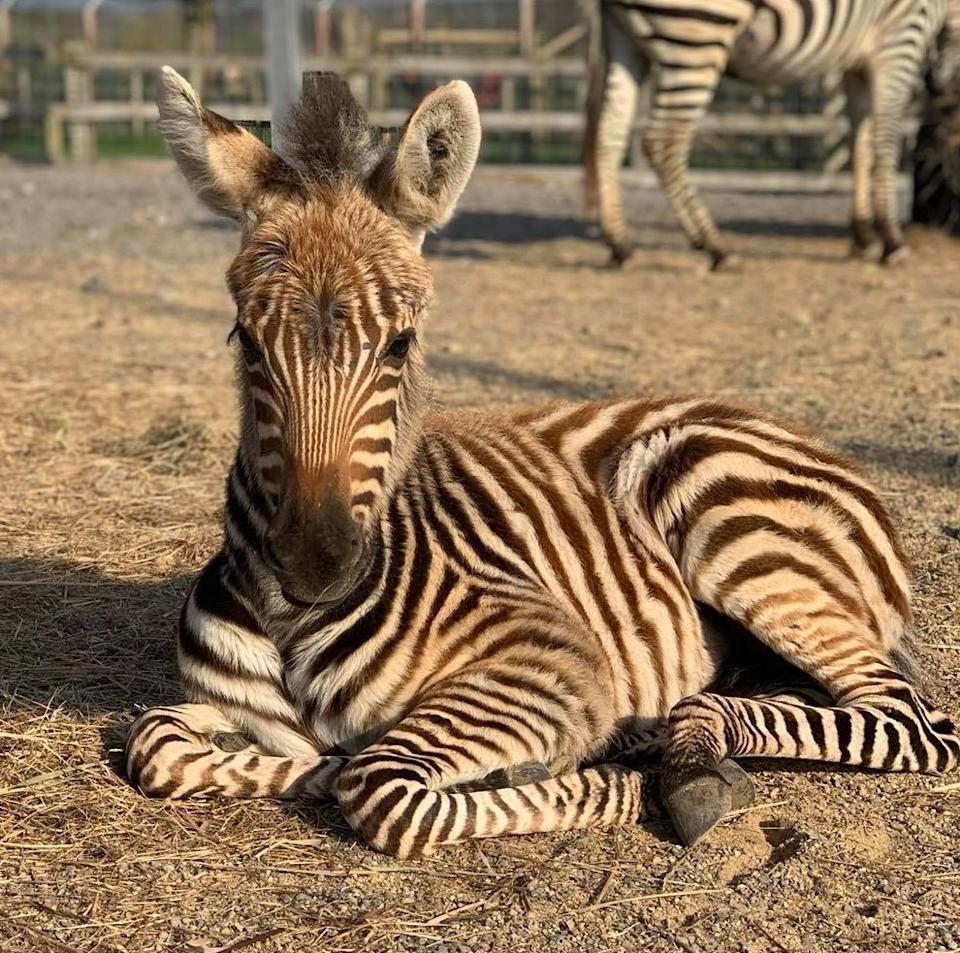 Hope, a young zebra at Noah's Ark Zoo Farm died after a fireworks display terrified her. Source: Facebook/Noah's Ark Zoo Farm