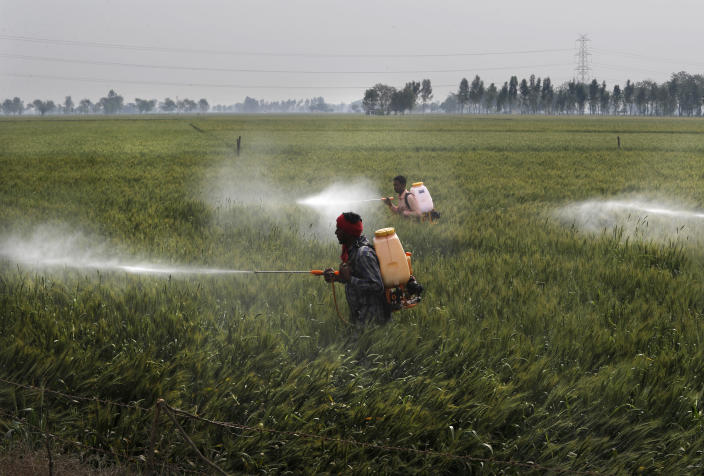 Workers spray pesticide on wheat crop in Ranish Kalan village in Moga district of Indian state of Punjab, Saturday, March 13, 2021. India's water crisis looms over the agrarian crisis that has been brewing for decades. And at its heart is a policy conundrum: India has been subsidizing the cultivation of rice in northern India, but these are thirsty crops that have depleted the ground water. (AP Photo/Manish Swarup)
