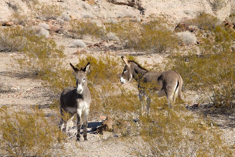 More Than 40 Wild Burros Have Been Found Shot, Killed in California Desert: 'This Is A Mass Killing'
