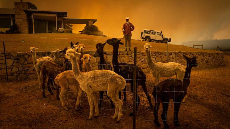Under a smoke-filled sky, Jill Rose cools off her alpacas as a wildfire burns nearby in Tomerong, New South Wales, on 4 January 2020. Air pollution is not just a modern problem. Airborne toxins are so pernicious that they may have shaped human evolution. Image credit: Matthew Abbott/The New York Times