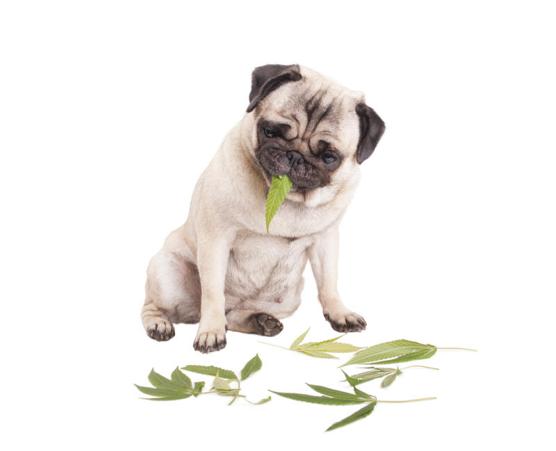 Dog with a marijuana leaf in its mouth and marijuana leaves on the floor.