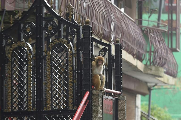 Some residents of the town have been metal cages over their terraces and windows to keep out the invaders, who have even been known to steal from refrigerators