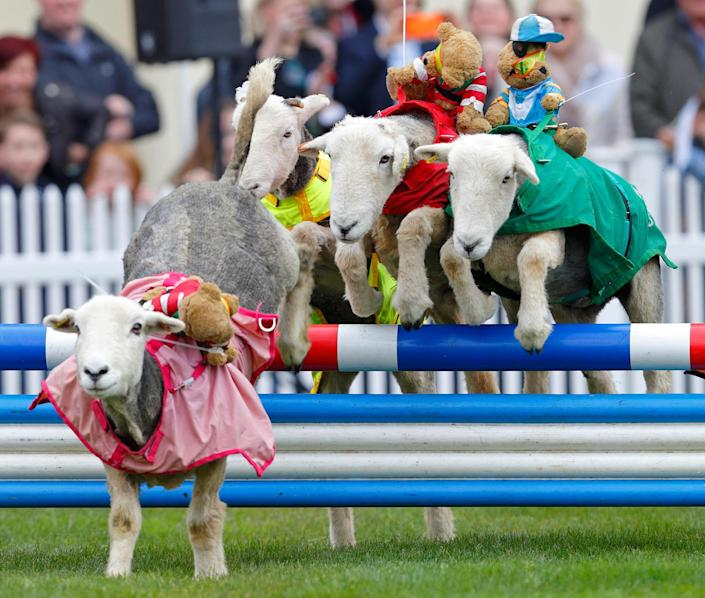 <p>Sheep take part in the 'Lamb National' race during the Prince's Countryside Fund Raceday at Ascot Racecourse on April 3, 2016 in Ascot, England. (Max Mumby/Indigo/Getty Images) </p>