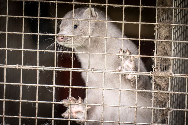 A caged mink looks on, amid the coronavirus disease (COVID-19) outbreak, at a mink farm in Hjoerring in North Jutland