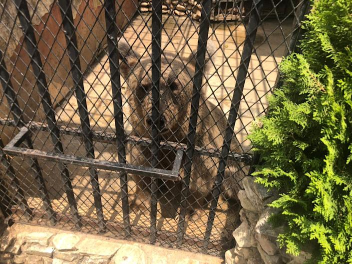 A Canadian brown bear looks out from his cage in Lebanon's Animal City zoo.