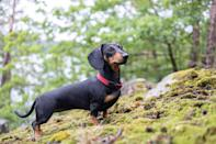 """<p>Don't let the <a href=""""https://www.dailypaws.com/dogs-puppies/dog-breeds/dachshund"""" rel=""""nofollow noopener"""" target=""""_blank"""" data-ylk=""""slk:Dachshund"""" class=""""link rapid-noclick-resp"""">Dachshund</a>'s hotdog-like physique fool you: They're excellent hunters! Nicknamed as doxies, they hunt (and co-habitat) better in pairs, so adopting more than one of this companion breed for the household is ideal.</p>"""