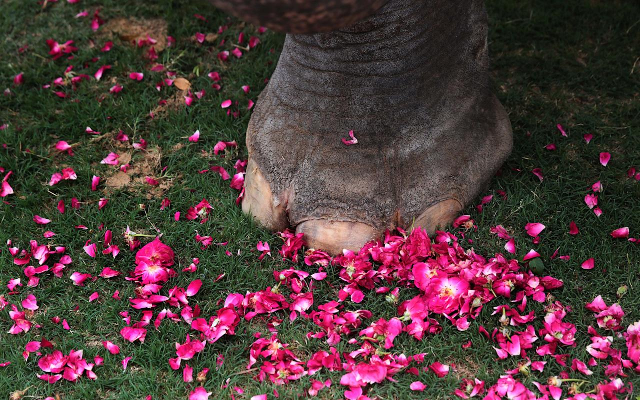 JAIPUR, INDIA - JUNE 4: Rose petals scattered near the feet of an elephant fter a group of elephants garland a photograph of the female elephant that was killed in Kerala, at Hathi Gaon on June 4, 2020 in Jaipur, India. The pregnant pachyderm died last week while standing in water after being fatally wounded by eating a firecracker laden pineapple. (Photo by Himanshu Vyas/Hindustan Times via Getty Images)