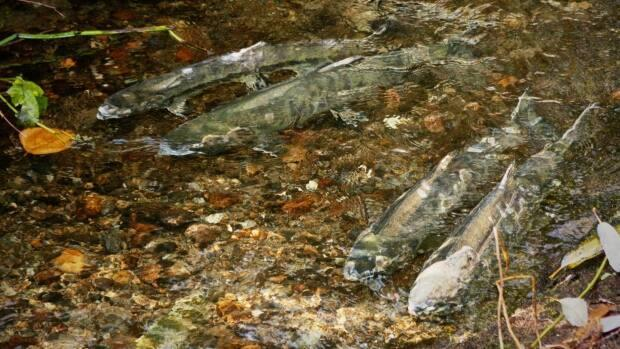 Four chum salmon are seen swimming in Burnaby's Guichon Creek in late October. Juvenile salmon have been released into Maple Creek's off-channel pond as part of restoration efforts.