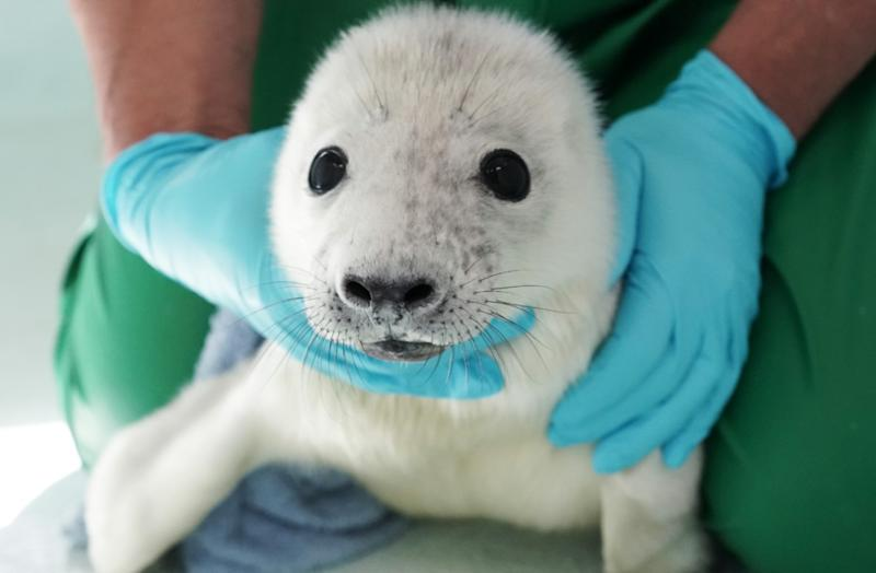 The female seal pup was saved from drowning in the North Sea (PA)