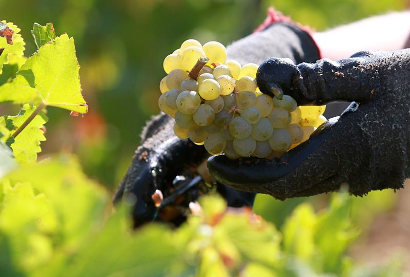 FILE - This Sept. 4, 2012 file photo shows a worker collecting white grapes in the vineyards of the Chateau Haut Brion, a Premier Grand Cru des Graves, during the grape harvest in Pessac-Leognan, near Bordeaux, southwestern France.  The European Union's farmers' union is warning that drought, cold and hail have conspired to produce the worst wine harvest for the region in up to half a century, according to Farmers Union expert Thierry Coste on Wednesday Oct. 17, 2012. The Champagne and Burgundy regions were hard hit by weather conditions that particularly affected the chardonnay grape. (AP Photo/Bob Edme, File)
