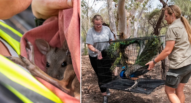 A joey against a NSW animal rescuer's chest in a pouch (left) and two women carry a peacock in a cage (right).