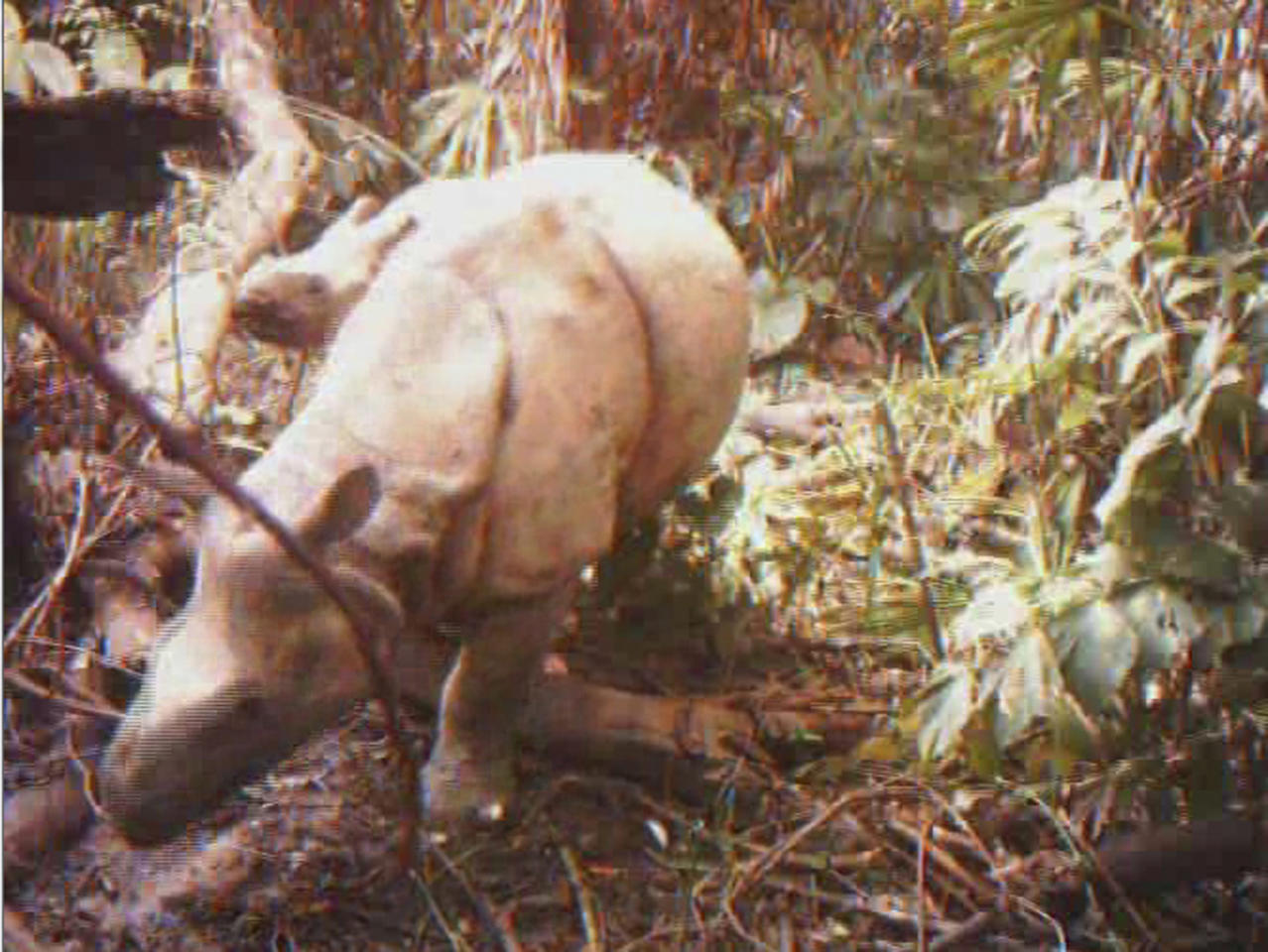 In this undated frame grab released by WWF-Indonesia and Ujung Kulon National Park Authority, a female Javan rhino walks with her calf in Ujung Kulon National Park, Indonesia. Four of the world's most rare rhinoceroses were captured by camera traps installed in an Indonesian national park, an environmental group said Monday, Feb. 28, 2011. (AP Photo/WWF-Indonesia and Ujung Kulon National Park Authority, HO) NO SALES, EDITORIAL USE ONLY, NO ARCHIVES