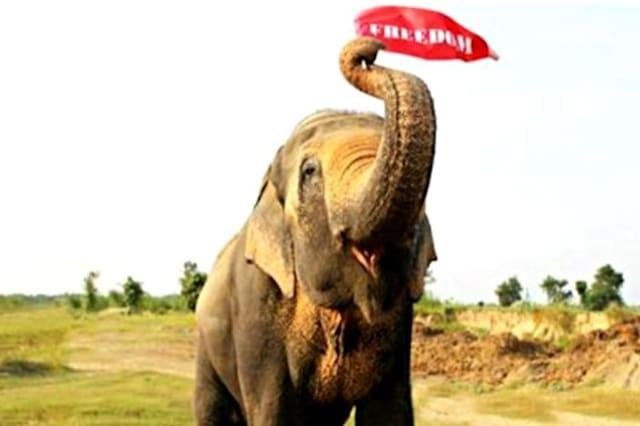 Elephant shackled for 50 years finally freed