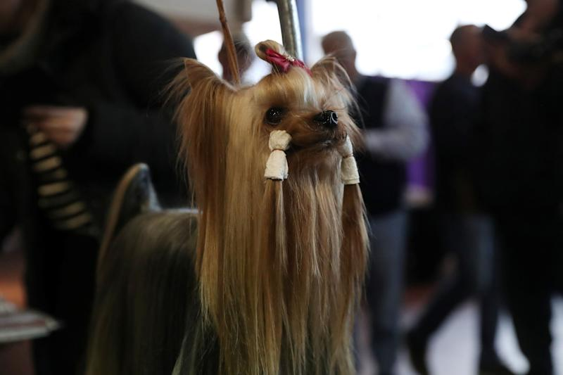 Connor, a Yorkshire terrier breed, during the 143rd Westminster Kennel Club Dog Show in New York, Feb. 11, 2019. (Photo: Shannon Stapleton/Reuters)
