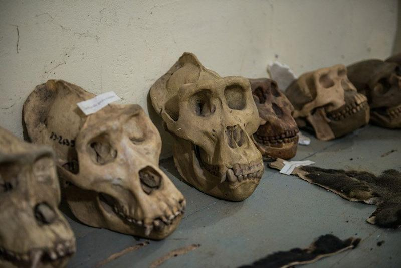Skulls collected from expeditions conducted by the Congo Biodiversity Initiative are seen on display in the organization's museum.