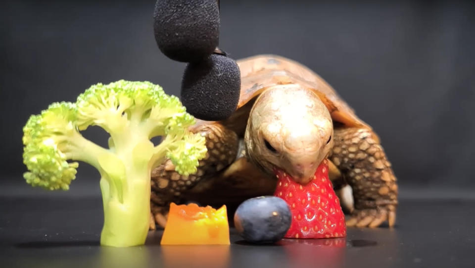 A turtle munching on a strawberry next to a piece of broccoli and some cheese in a tortoise ASMR video.