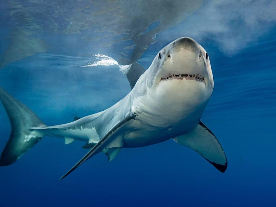 More sharks have been spotted off the coasts of New Brunswick and Nova Scotia according to the app, Shark Trackers, developed by research group Ocearch. (Getty Images - image credit)