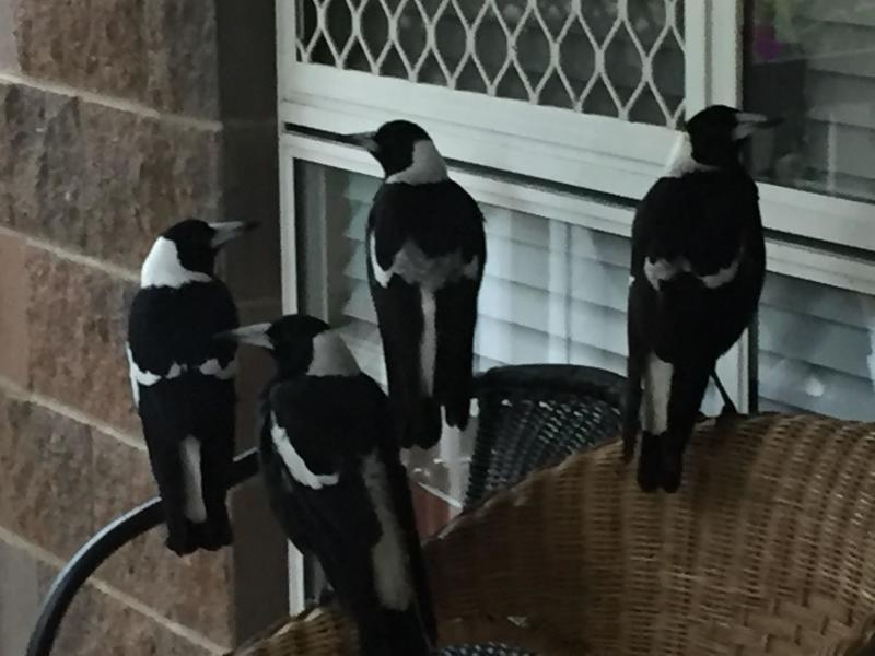 Four magpies sit on a chair in front of a window.