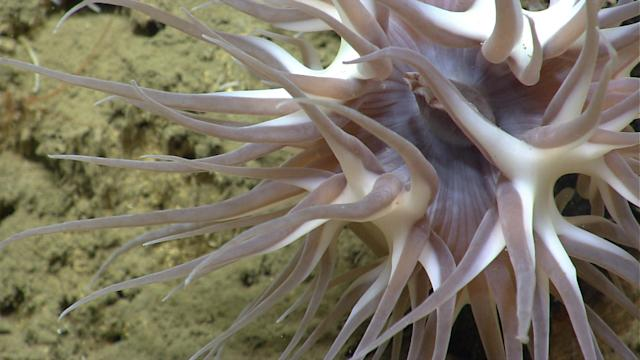 <p>Deep sea anemones (order Actinaria), are related to corals. The animal here has long tentacles with large stinging cells used to capture and immobilize large zooplankton – like shrimp – and fish that are impinged as they drift by in the current. The tentacles then manipulate the prey towards a central mouth where it is ingested. (Photo: Northeast Canyons 2013 Science Team/NOAA Okeanos Explorer Program) </p>